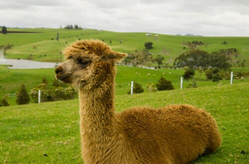 Can I have an alpaca in my backyard as a pet?