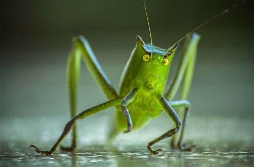 Cricket farming