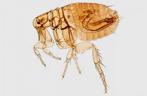 How to get rid of fleas in the backyard?