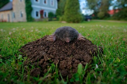How to prevent animals from digging up the lawn?