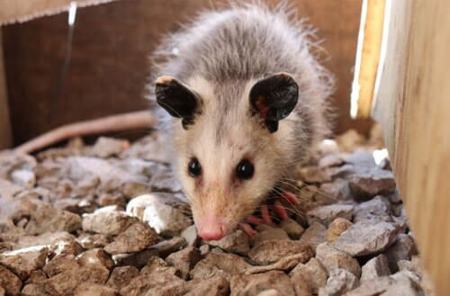 Can I shoot a possum in my backyard?