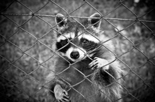 Can raccoons climb fences?