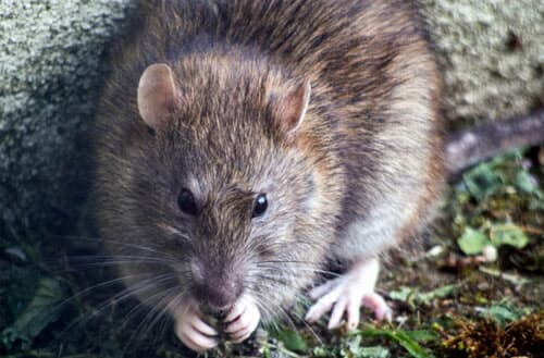How to get rid of rats in my backyard?