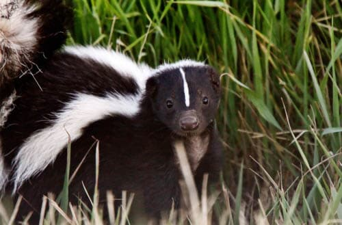 How to get rid of skunks under your deck?